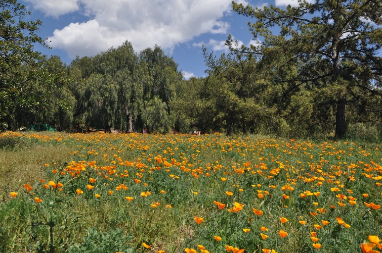 Poppies and Trees